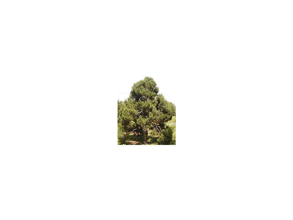 Pinus sylvestris 'Globosa Viridis'  Borovice lesní 'Globosa Viridis'