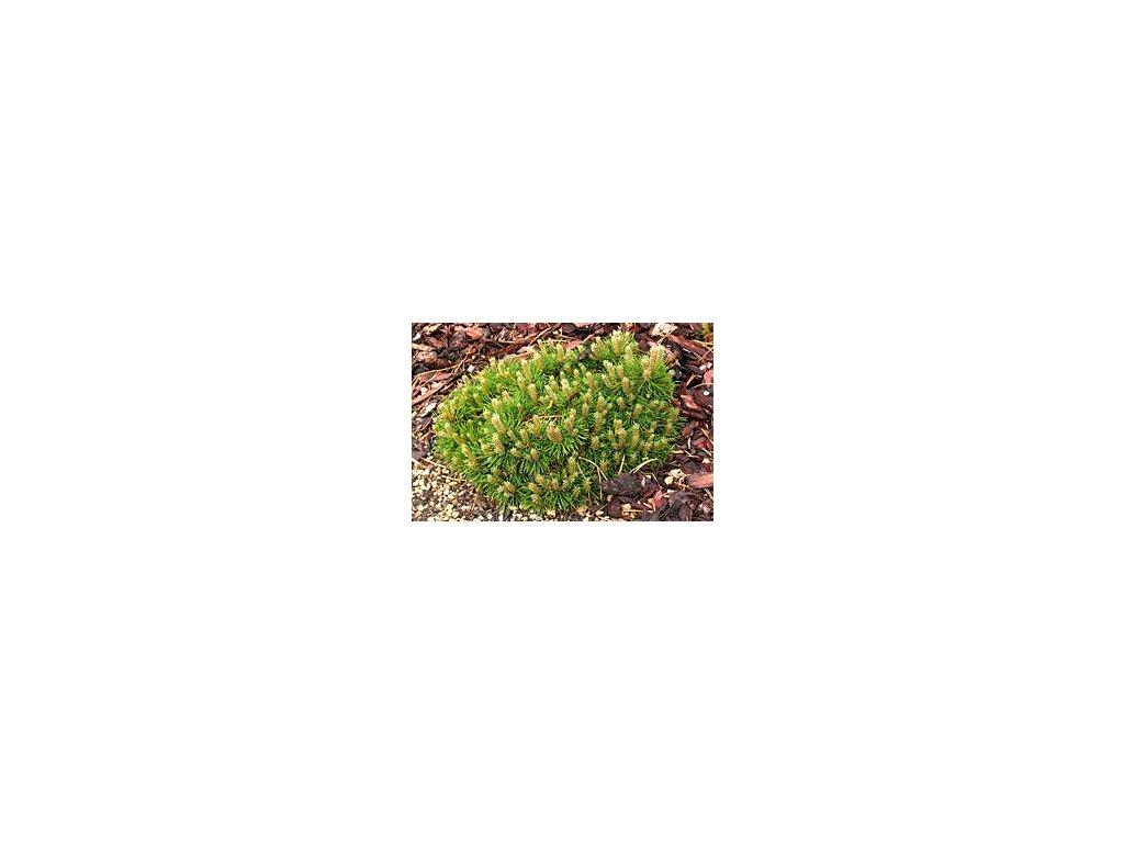 Pinus unicata 'Paradekissen'  Borovice blatka 'Paradekissen'
