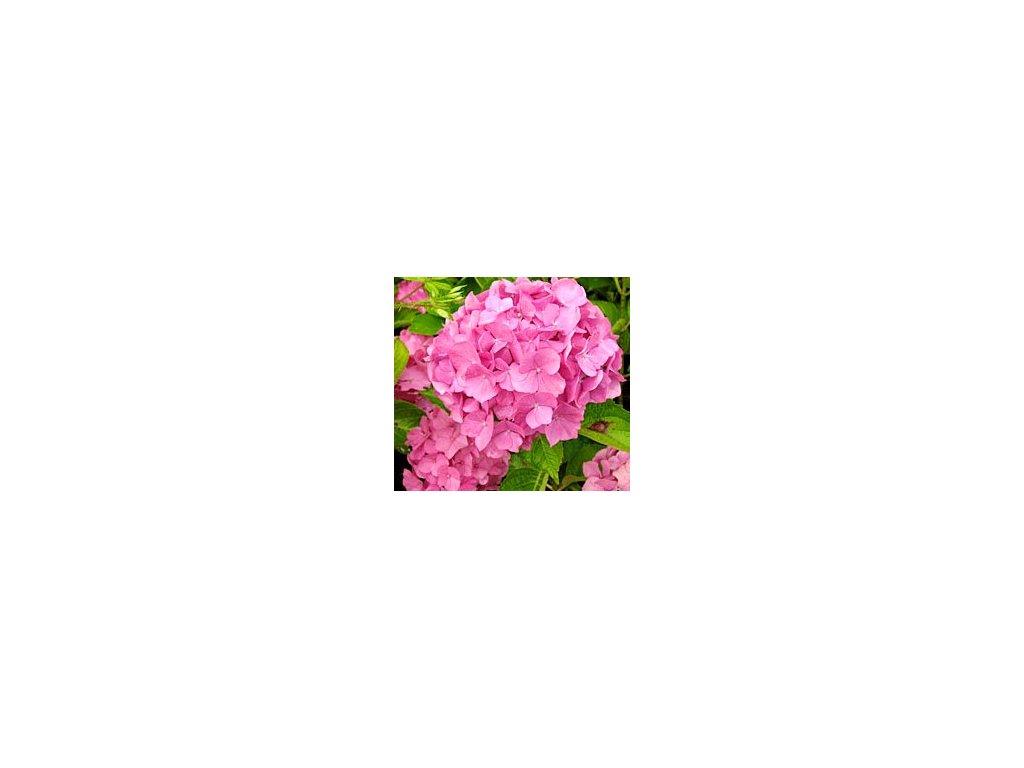 Hydrangea macrophylla ´Renate Steiniger´  Hortenzie velkolistá 'Renate Steiniger'