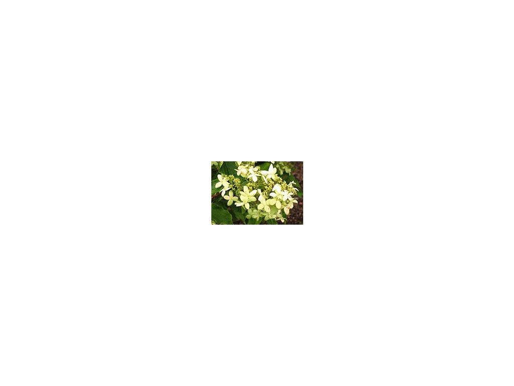 Hydrangea paniculata ´Praecox´  Hortenzie latnatá ´Praecox´