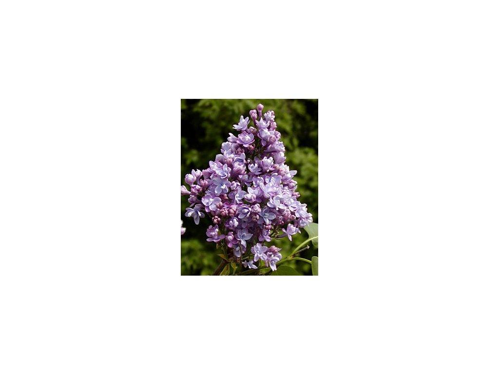 Syringa vulgaris ´President Viger´  Šeřík obecný ´President Viger´