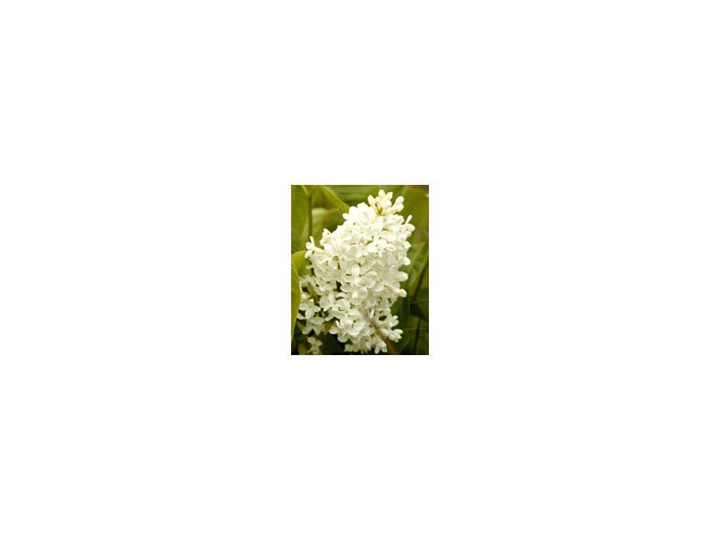 Syringa vulgaris ´Jan van Tol´  Šeřík obecný ´Jan van Tol´