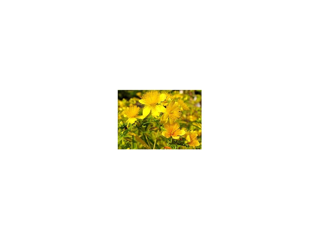 Hypericum kalmianum 'Gemo'  Třezalka tříkvětá  'Gemo'