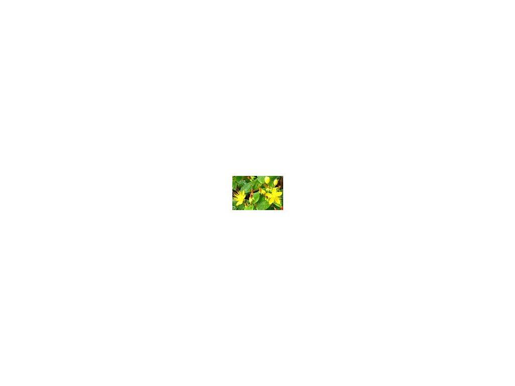 Hypericum inodorum  Třezalka nevonná