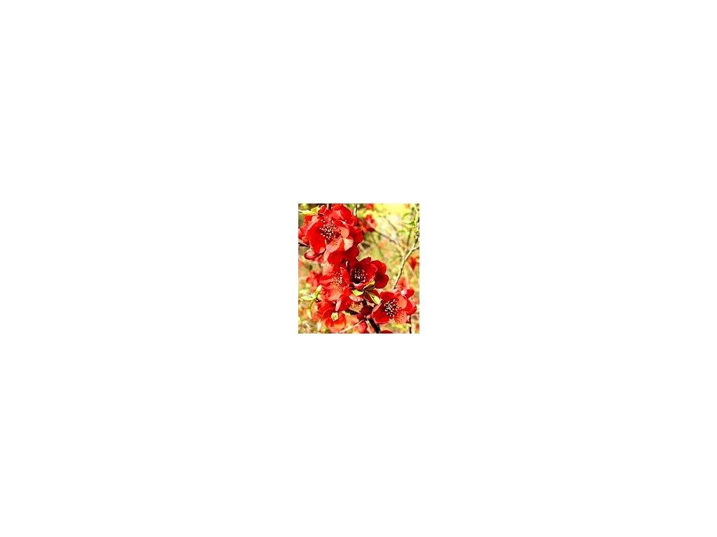Chaenomeles superba 'Crimson and Gold'  Kdoulovec nádherný 'Crimson and Gold'