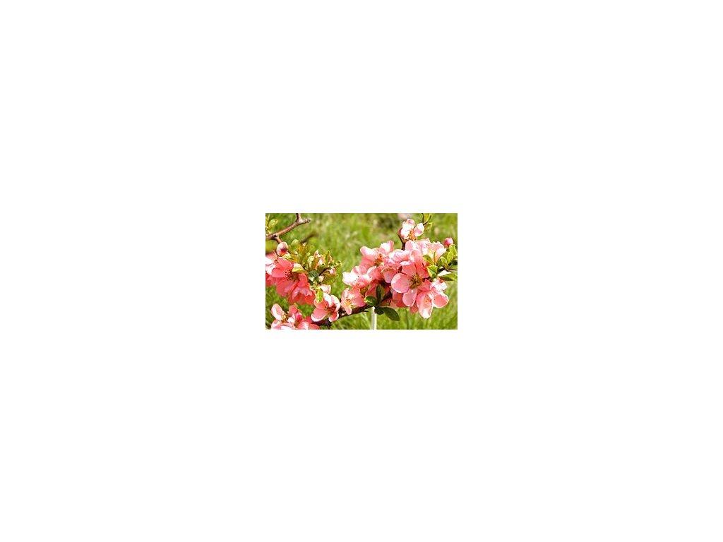 Chaenomeles superba 'Pink Lady'  Kdoulovec nádherný 'Pink Lady'