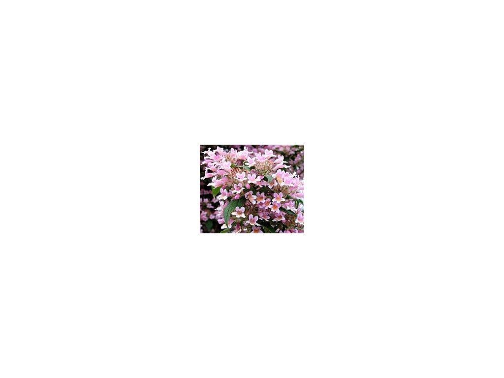 Kolkwitzia amabilis 'Pink Cloud'  Kolkvície krásná 'Pink Cloud'