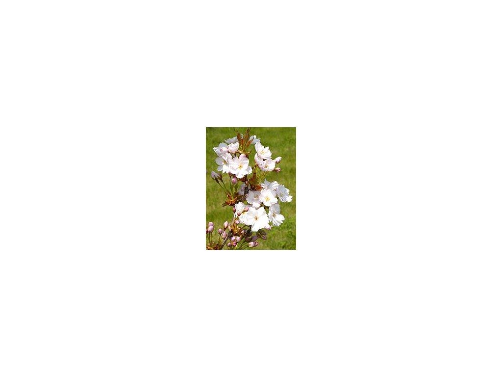 Prunus serrulata 'Amanogawa'  Višeň pilovitá 'Amanogawa'