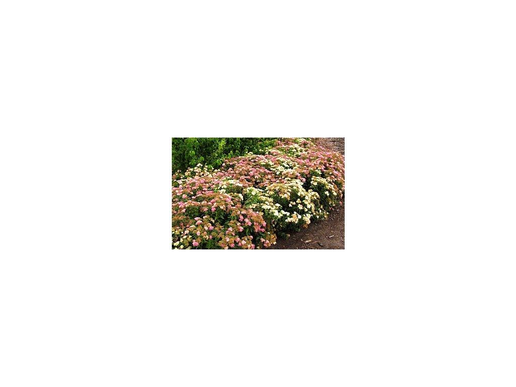 Spiraea japonica ´Genpei´  Tavolník japonský ´Genpei´