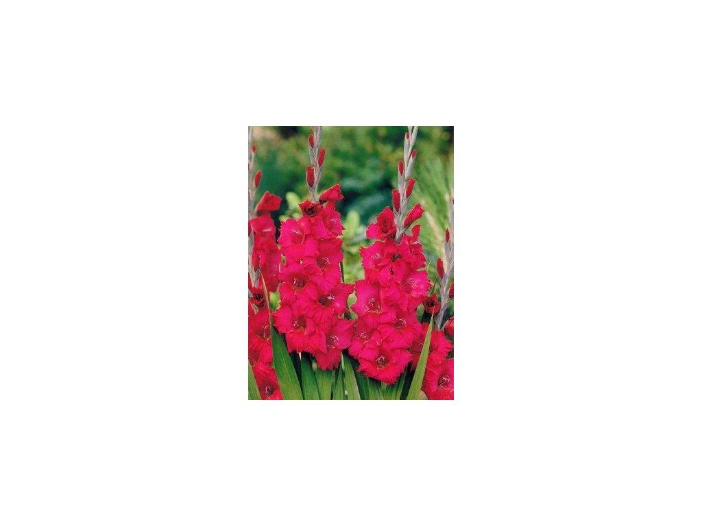 Gladiolus Plumtart (10 ks)  Mečík Plumtart