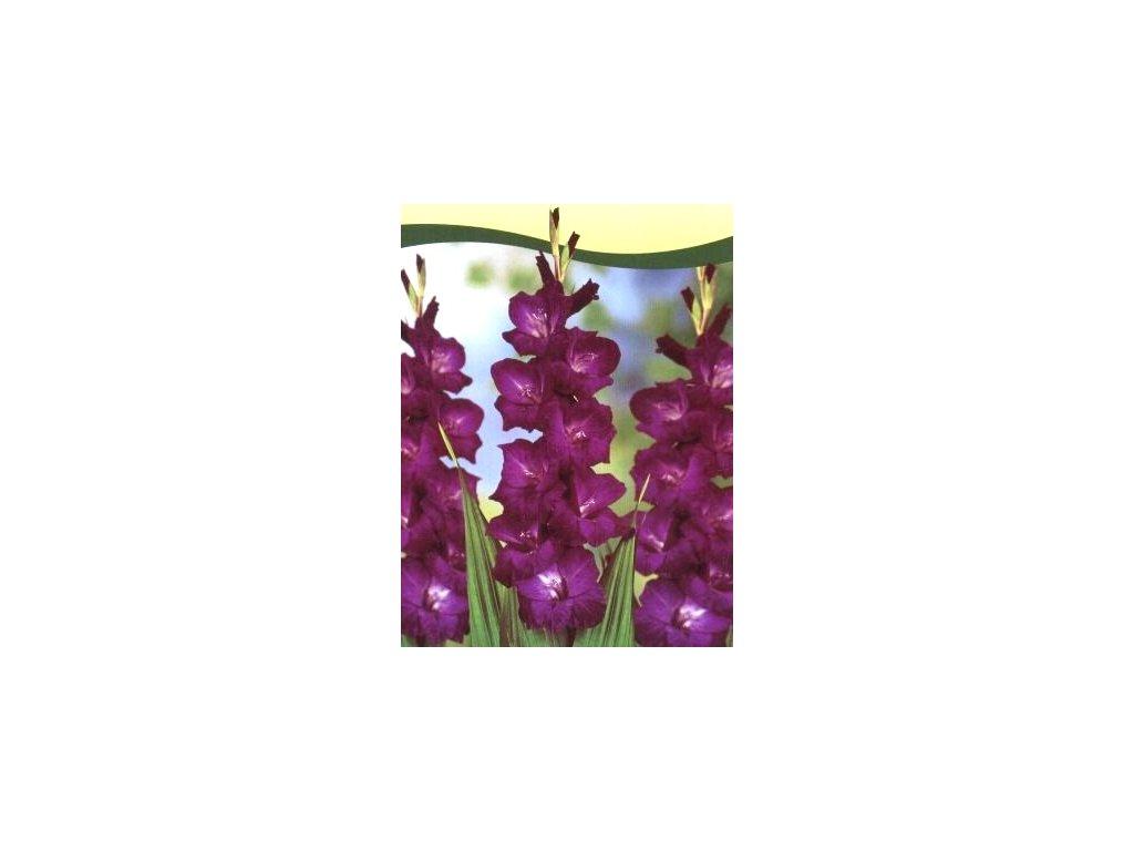 Gladiolus Purple Flora (10 ks)  Mečík Purple Flora