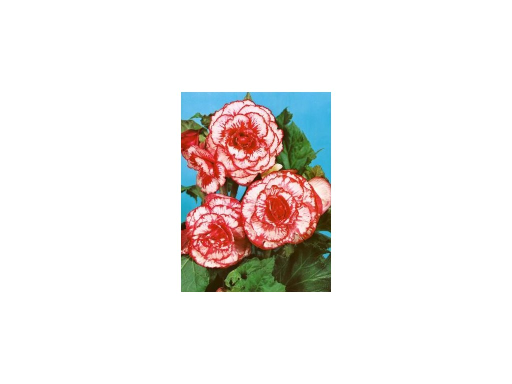Begonia marmorata (3 ks)  Begónie marmorata