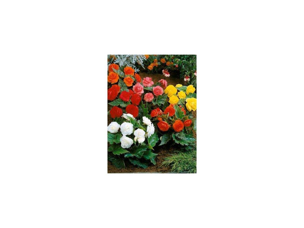 Begonia tuberhybrida Non-stop - směs barev (3 ks)  Begónie hlíznatá velkokvětá Non-stop - směs barev