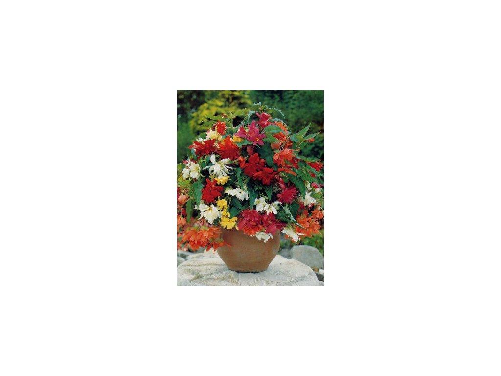Begonia pendula - směs barev (3 ks)  Begónie převislá - směs barev