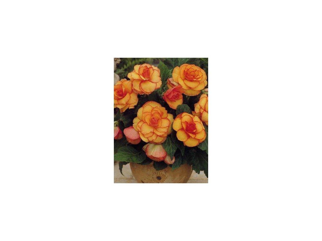 Begonia Picotee Ž/Č (3 ks)  Begónie Picotee