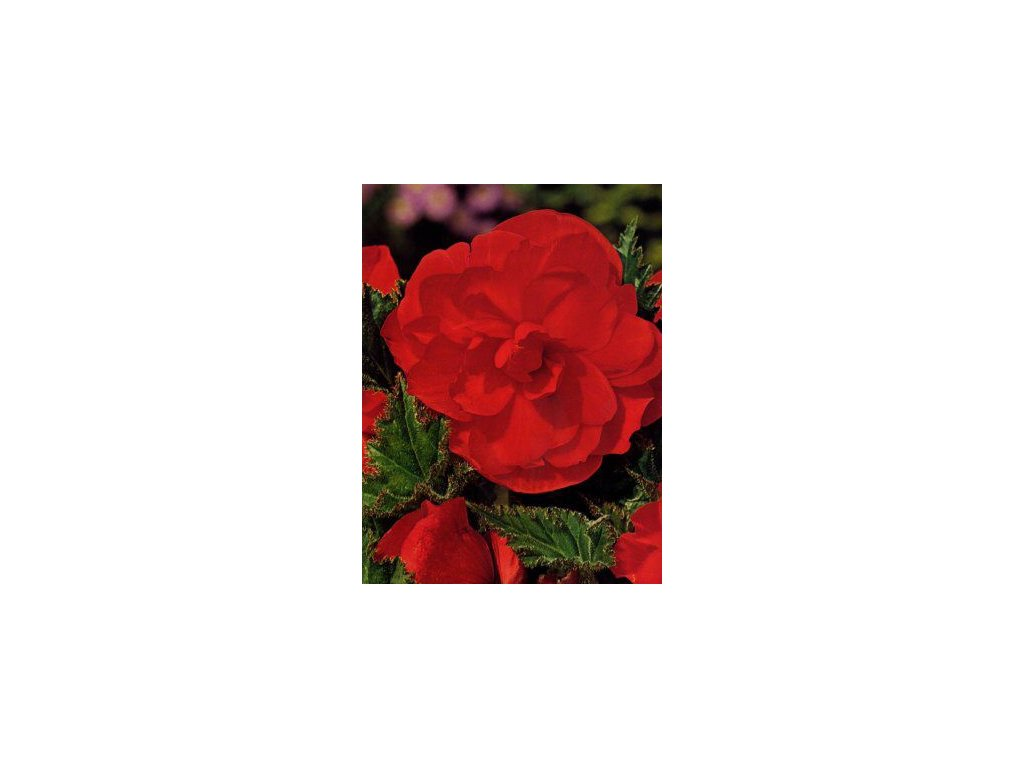 Begonia tuberhybrida - červená (3 ks)  Begónie velkokvětá - červená