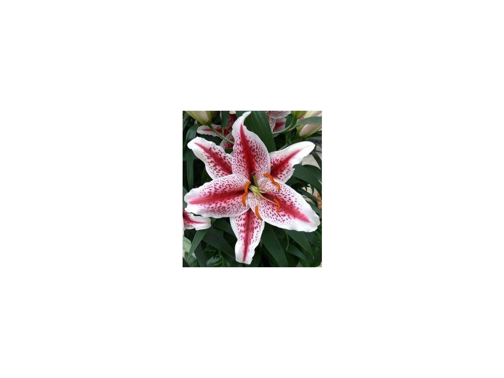 Lilium Tigerwoods (2 ks)  Lilie Tigerwoods