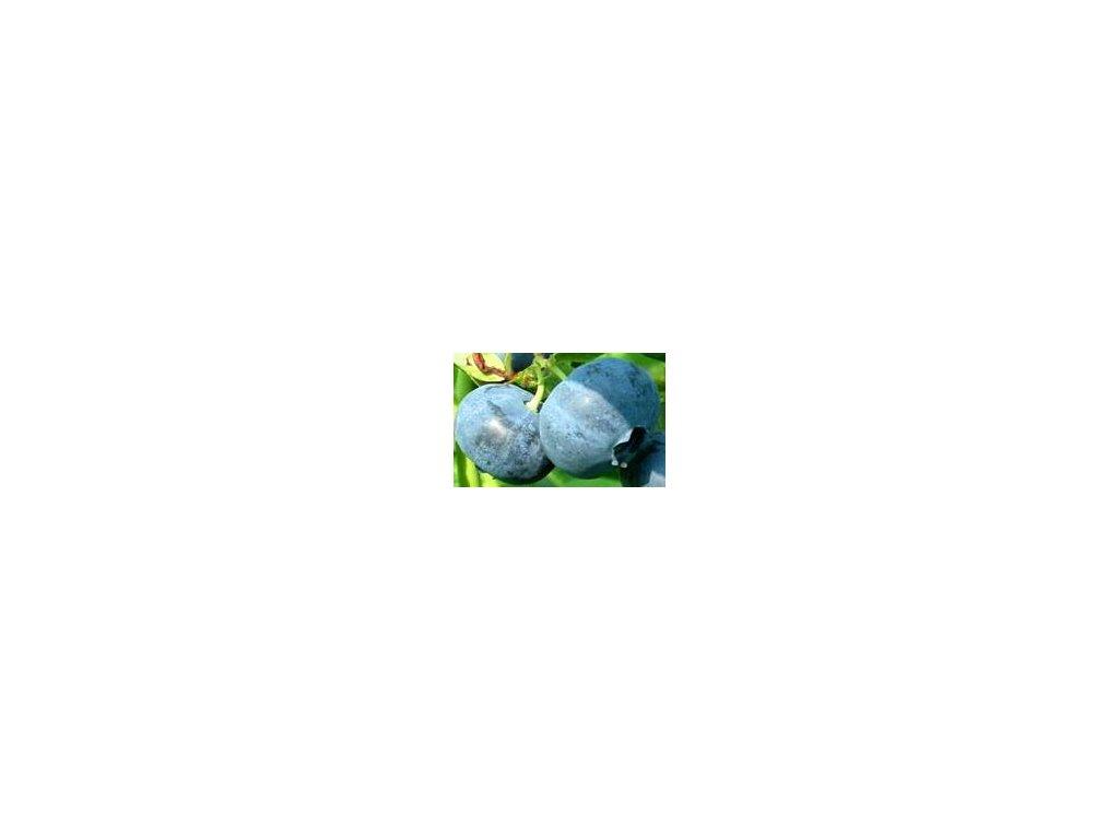 Vaccinium corymbosum Blue Crop  Kanadská borůvka Blue Crop