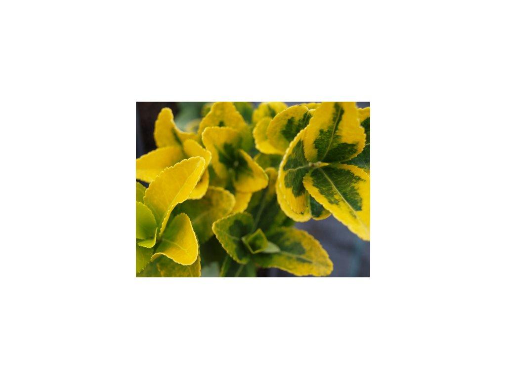 Euonymus japonicus 'Aureovariegata'  Brslen japonský 'Aureovariegata'