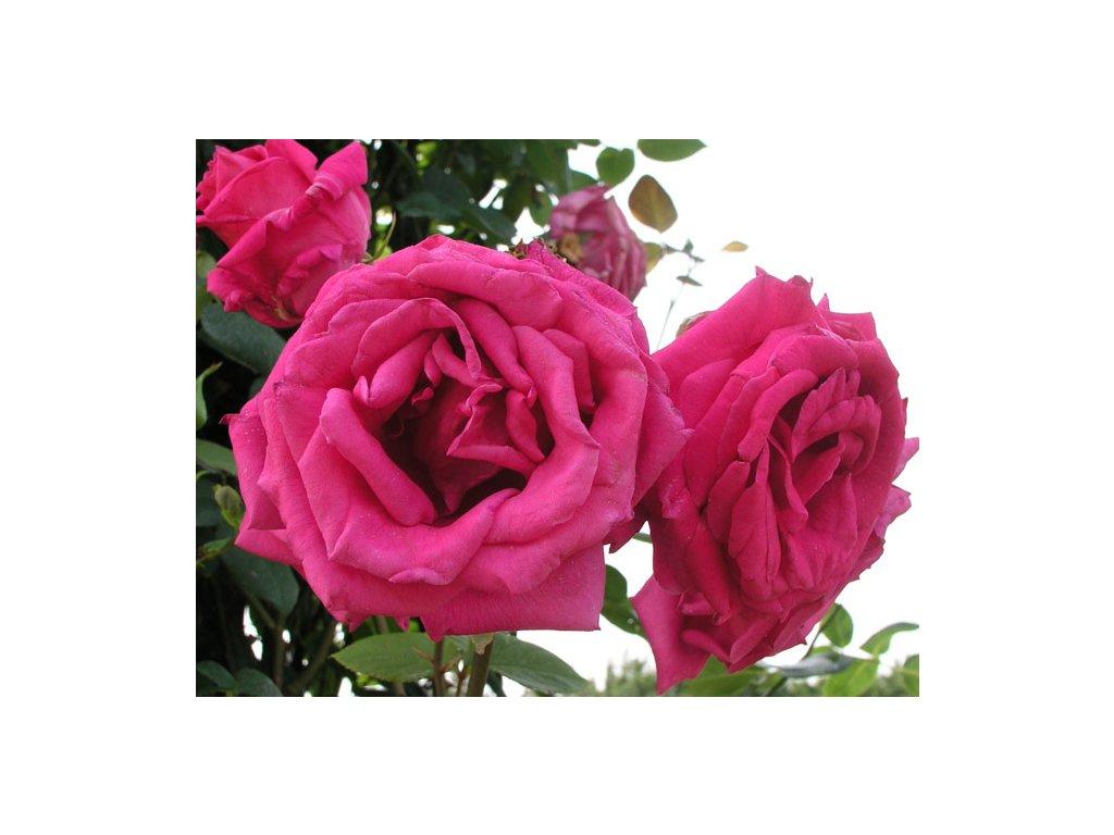 Rosa Parade - pnoucí  Růže pnoucí Parade