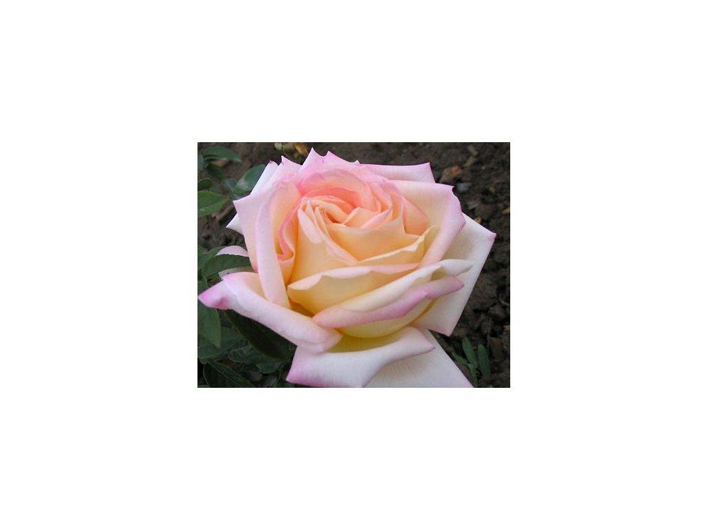 Rosa verzsilia  Růže verzsilia