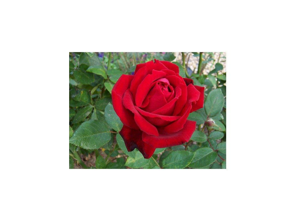 Rosa chrysler imp - velkokvětá  Růže velkokvětá chrysler imp