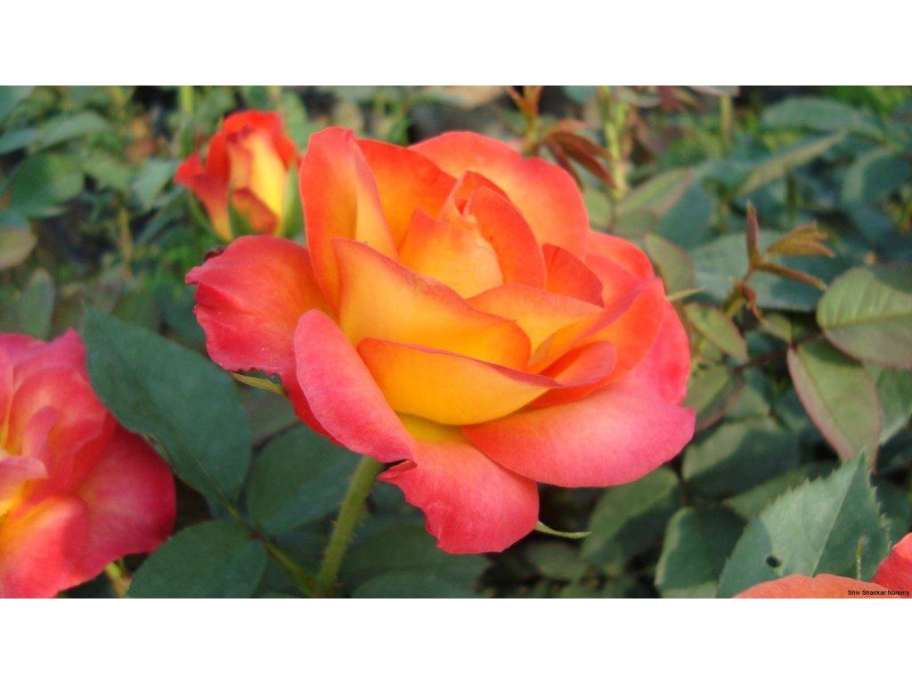 Rosa Alinka - velkokvětá  Růže velkokvětá Alinka