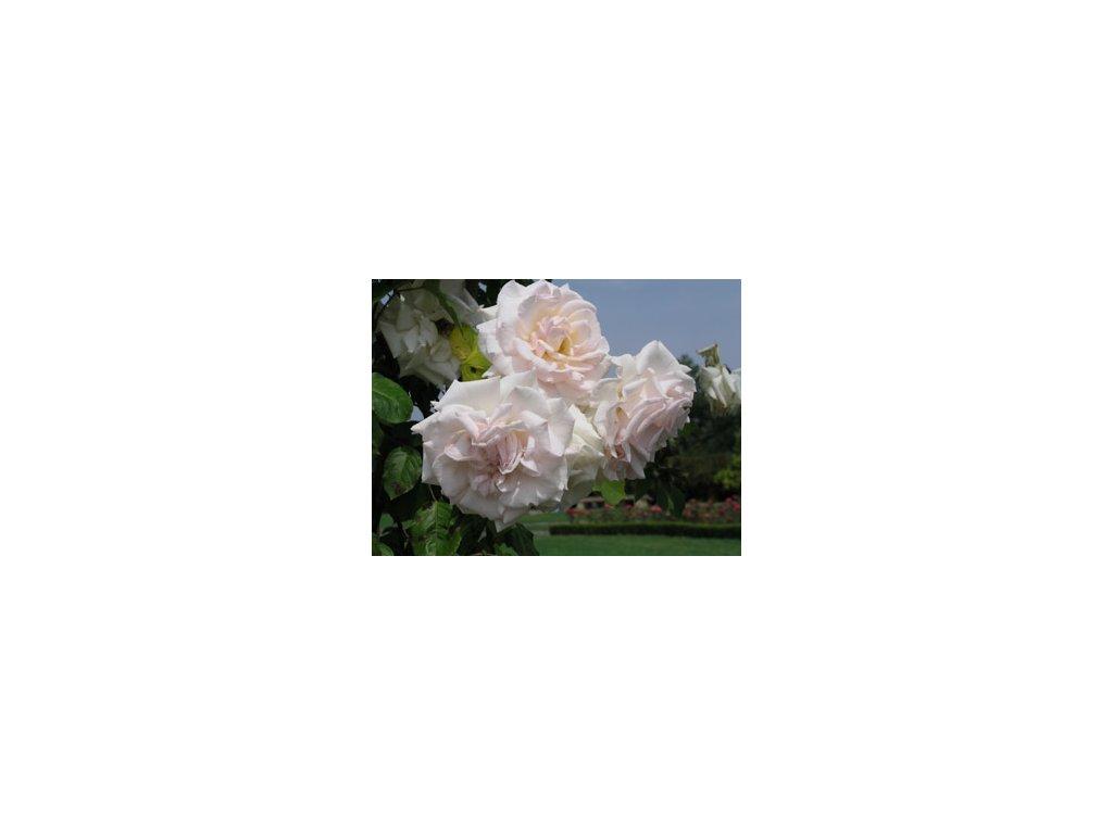 Rosa Swan lake - pnoucí  Růže pnoucí Swan lake