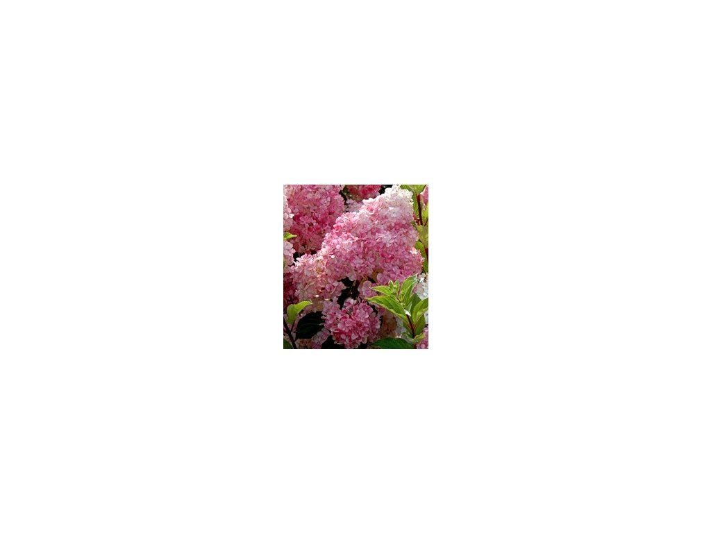 Hydrangea paniculata ´Vanille-Fraise´  Hortenzie latnatá ´Vanille-Fraise´