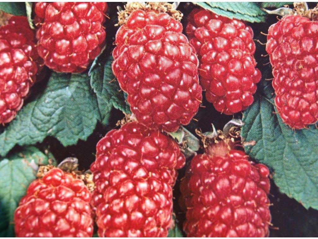 Malinoostružina beztrnná Tayberry Buckingham (kontejnerovaná)  Beztrnná malinoostružina Tayberry Buckingham