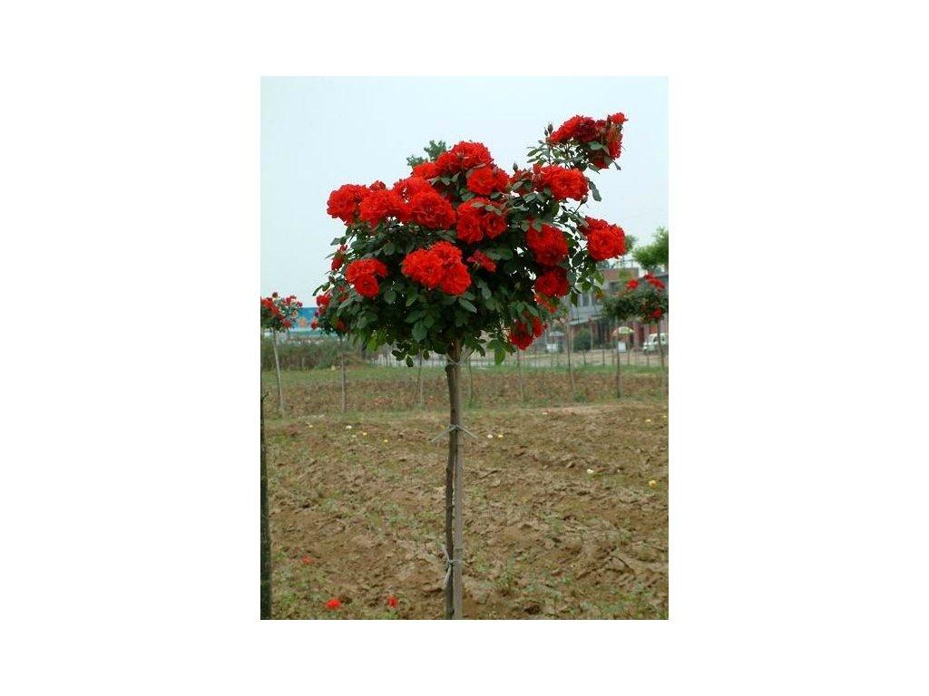 Růže stromková - sytě červená, kontejnerovaná!