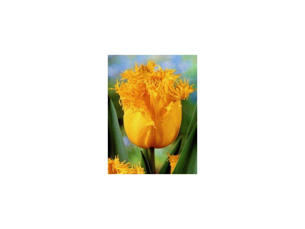 Tulipa crispa Hamilton (5 ks)  Tulipán třepenitý Hamilton