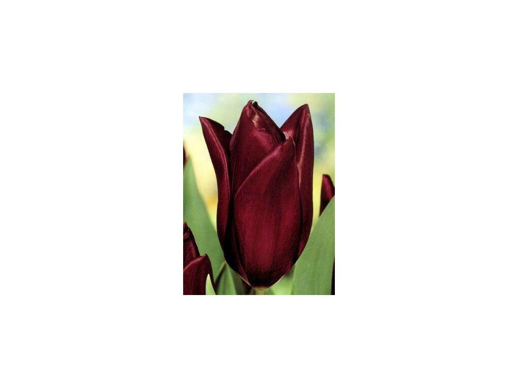 Tulipa triumph Havran (8 ks)  Tulipán triumph Havran