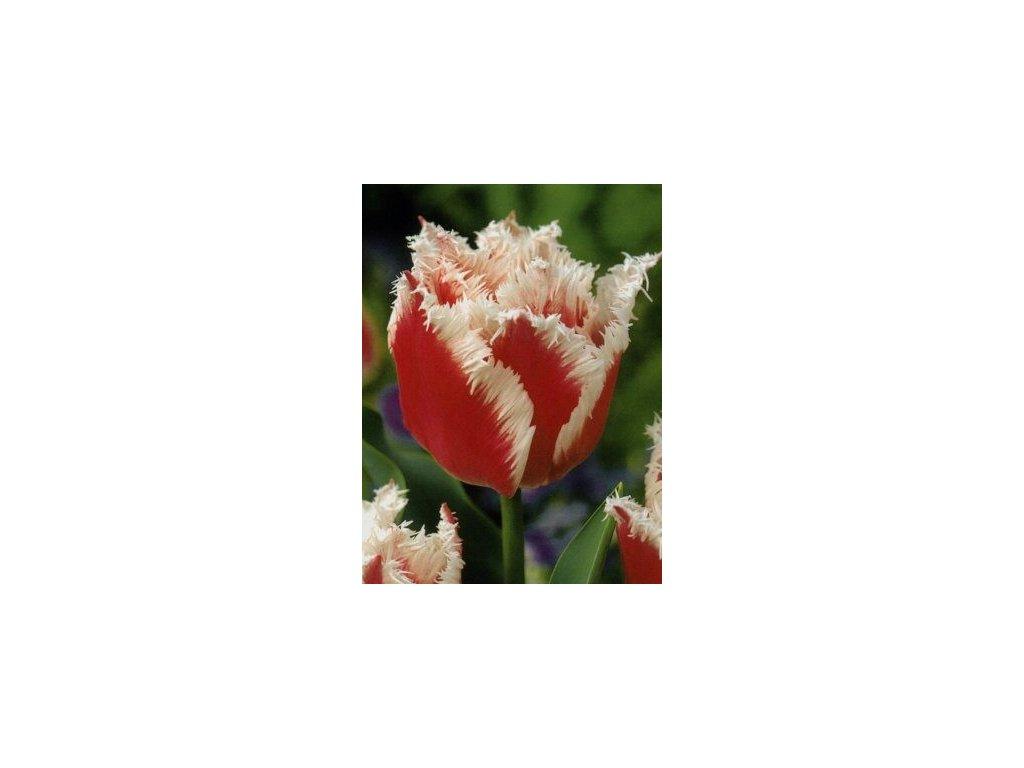 Tulipa crispa Bell Song (5 ks)  Tulipán třepenitý Bell Song