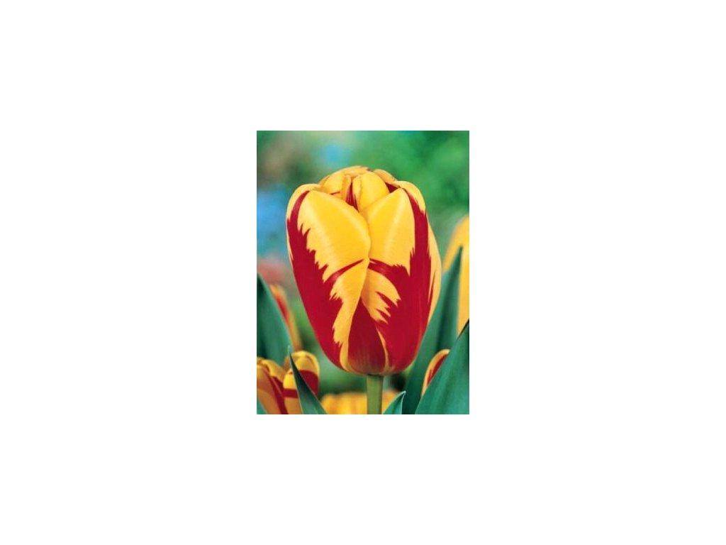 Tulipa triumph Holland Queen (8 ks)  Tulipán triumph Holland Queen