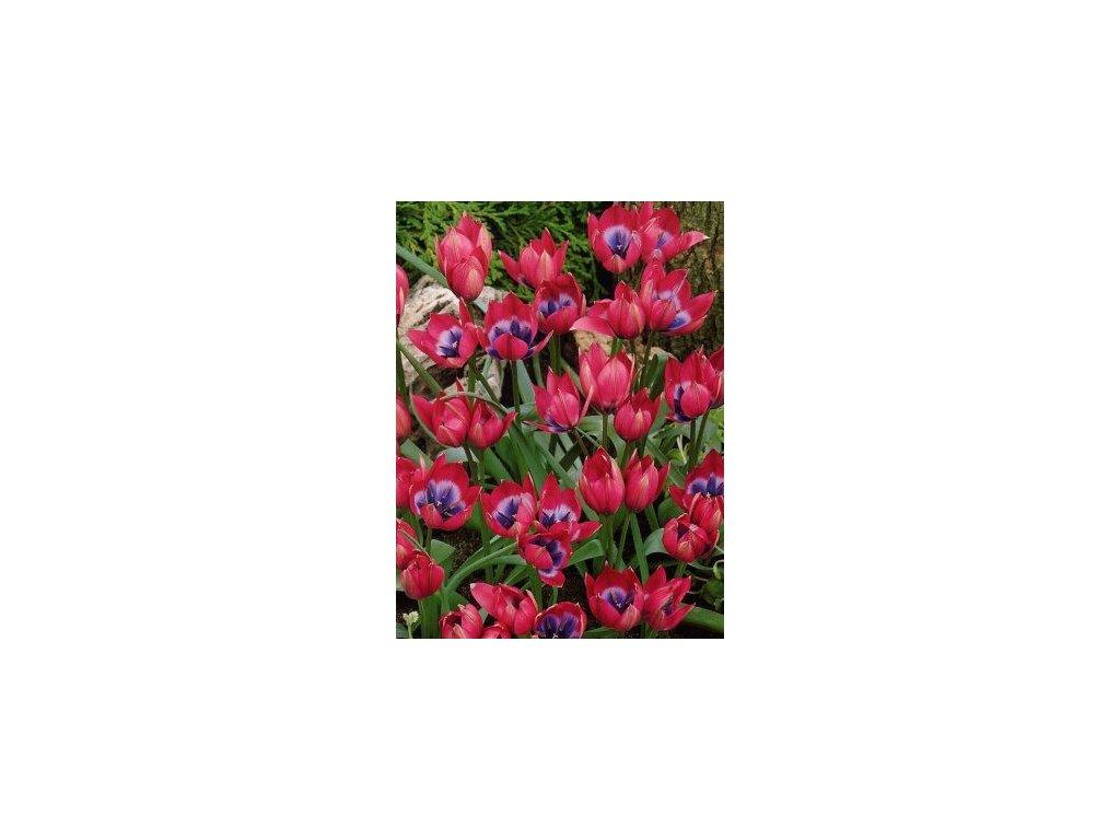 Tulipa Little Beauty (8 ks)  Tulipán botanický Little Beauty