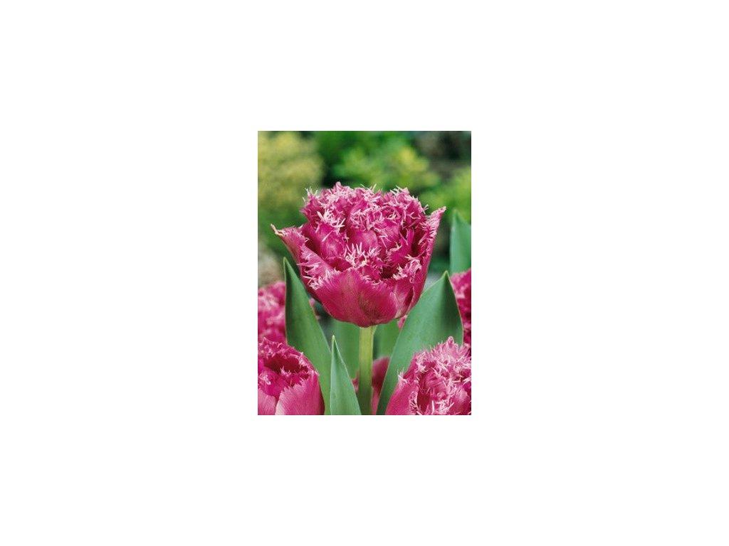 Tulipa crispa Matchpoint (5 ks)  Tulipán třepenitý Matchpoint
