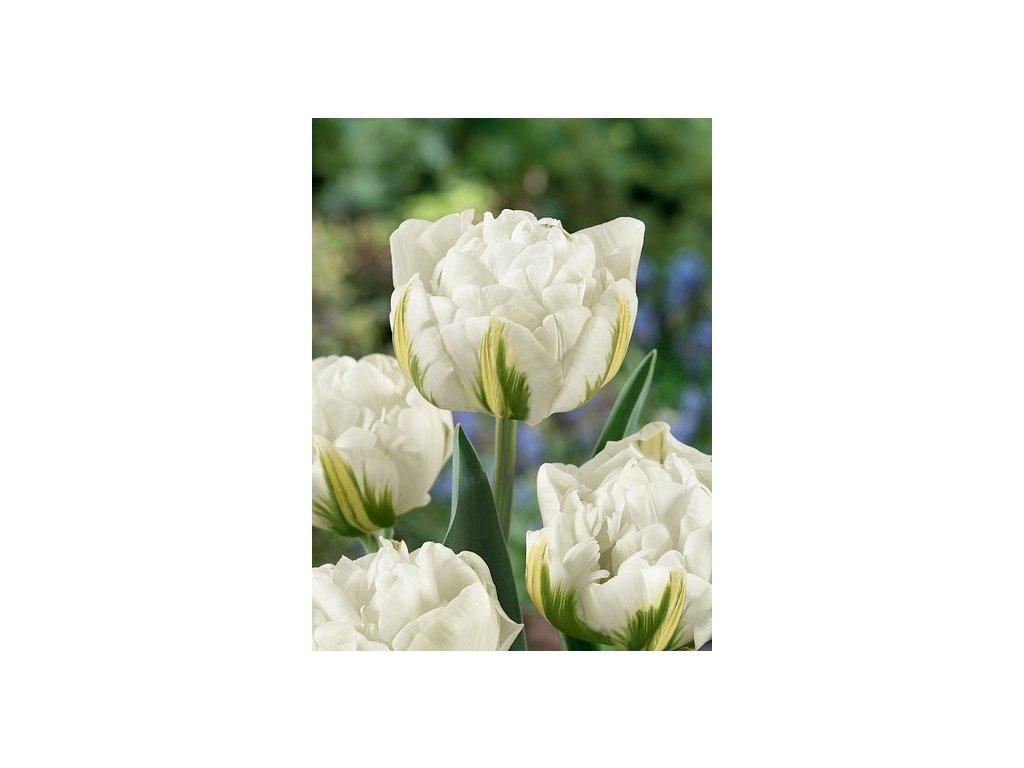 Tulipa Global Desire  Tulipán Global Desire