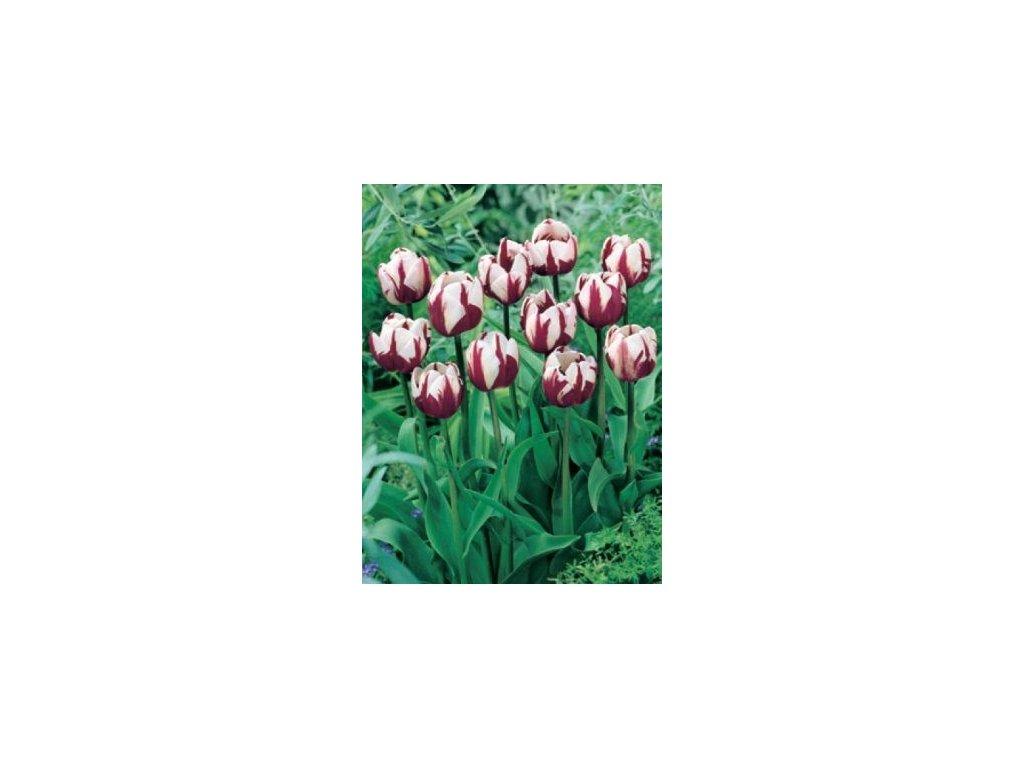 Tulipa Zurel (8 ks) - jednoduchý pozdní  Tulipán Zurel