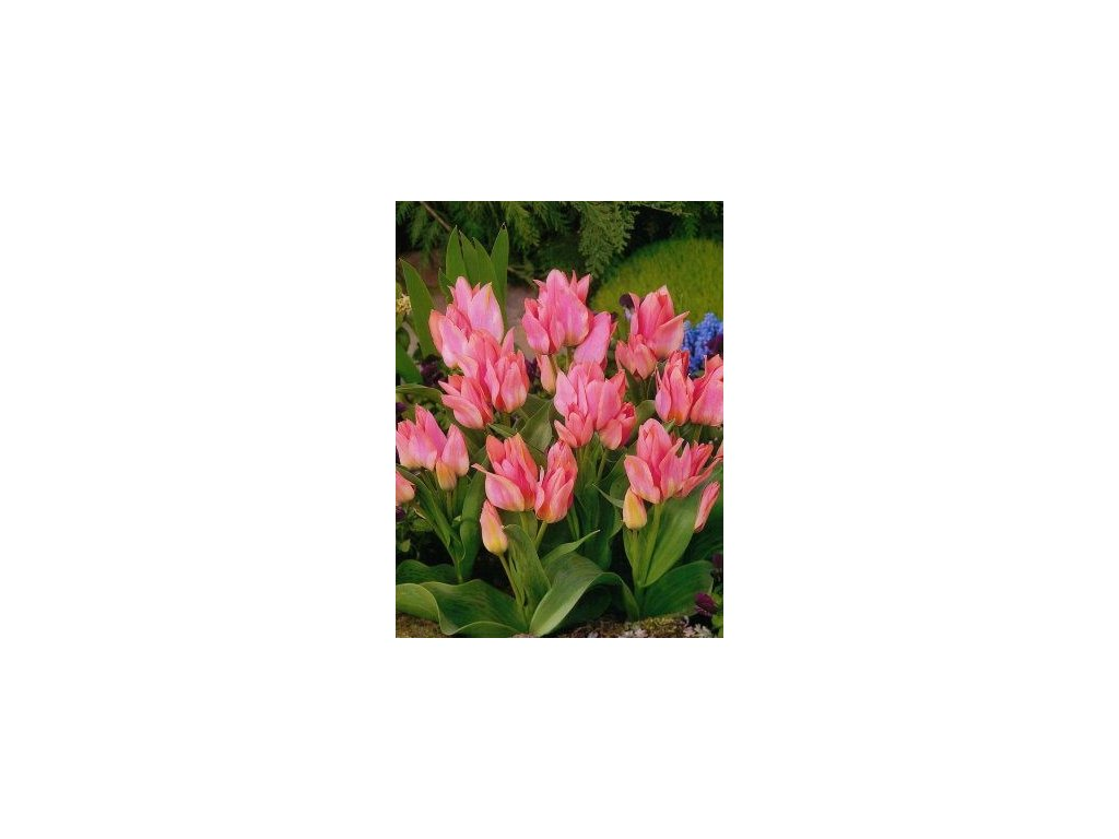 Tulipa Toronto (10 ks)  Tulipán mnohokvětý Toronto