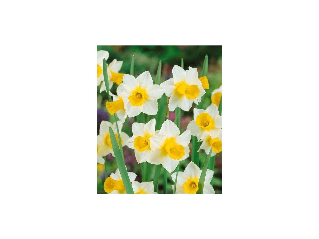 Narcissus Golden Echo (5 ks)  Narcis skalkový Golden Echo