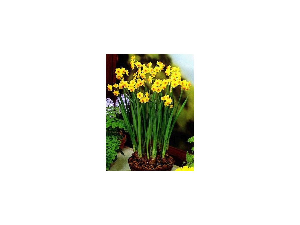 Narcissus Grand Soleil d'Or (5 ks) - VÁNOČNÍ  Narcis Grand Soleil d'Or