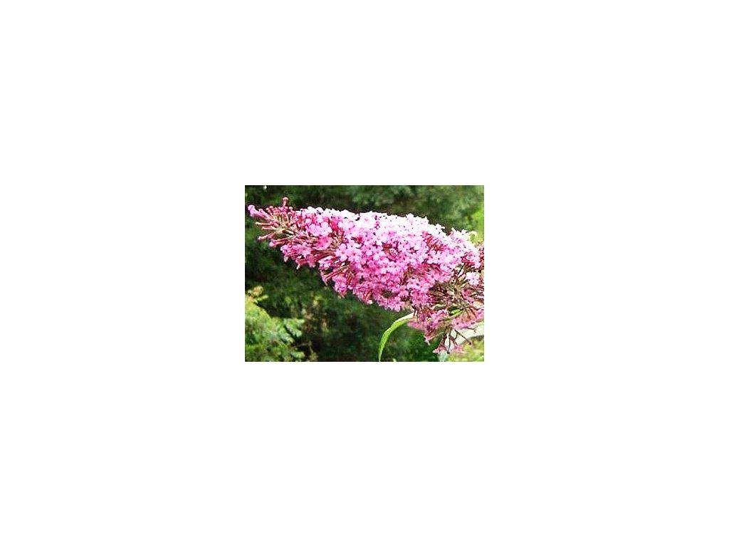Buddleja davidii Pink Delight  Komule davidova Pink Delight (Tibetský šeřík, Motýlí keř)