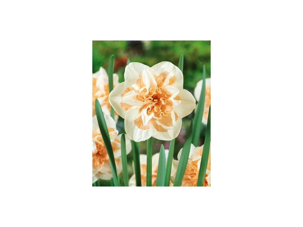Narcissus Delnashaugh (5 ks)  Narcis Delnashaugh plnokvětý