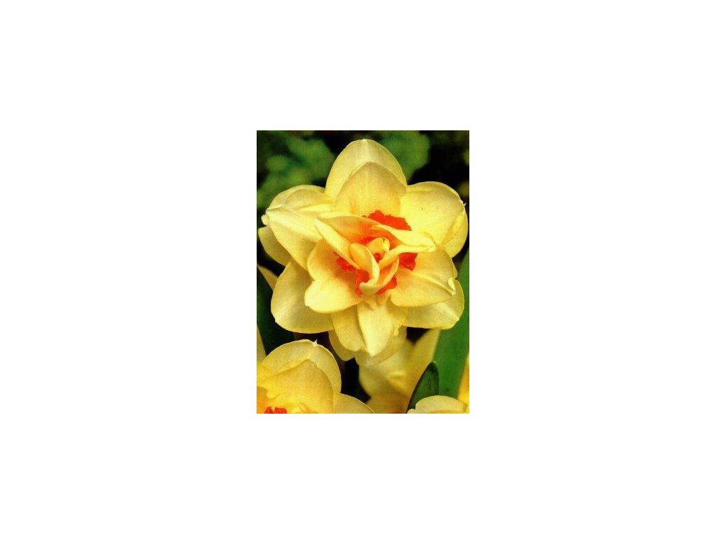 Narcissus Tahiti (5 ks)  Narcis plnokvětý Tahiti