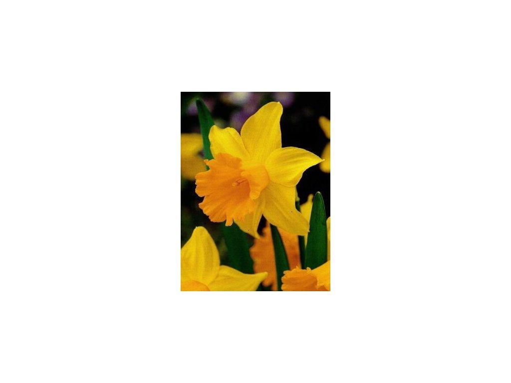Narcissus Unsurpassable (5 ks)  Narcis trubkovitý Unsurpassable