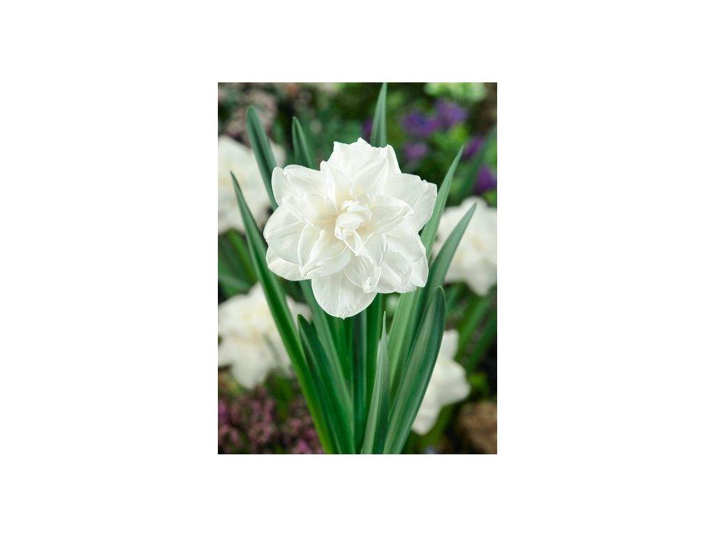 Narcissus White Medal (5 ks)  Narcis plnokvětý White Medal