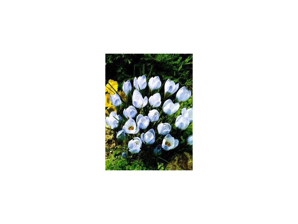 Crocus Blue Pearl (15 ks)  Šafrán (Krokus) Remembrance