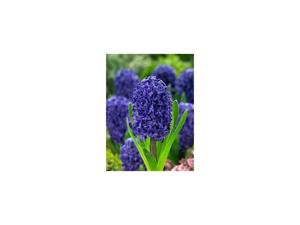 Hyacint Aida (3 ks)  Hyacint Aida