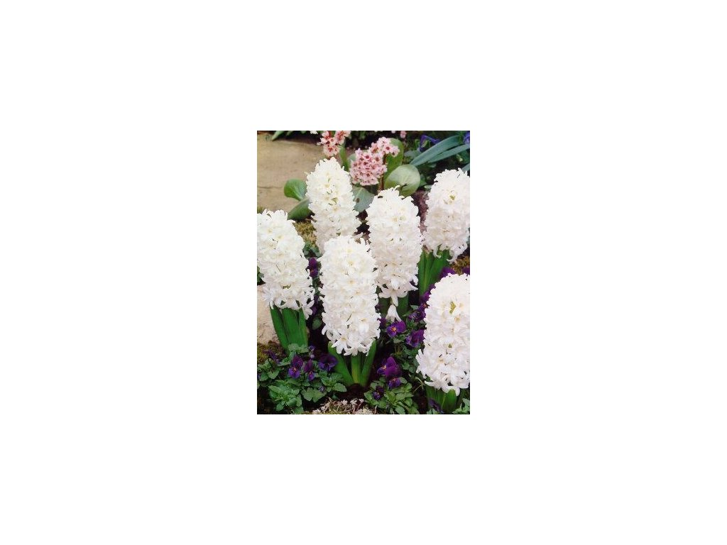 Hyacint Carnegie (3 ks)  Hyacint Carnegie
